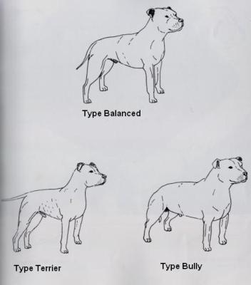 Les Trois Types de Staffie - Staffordshire Bull Terrier 12786810