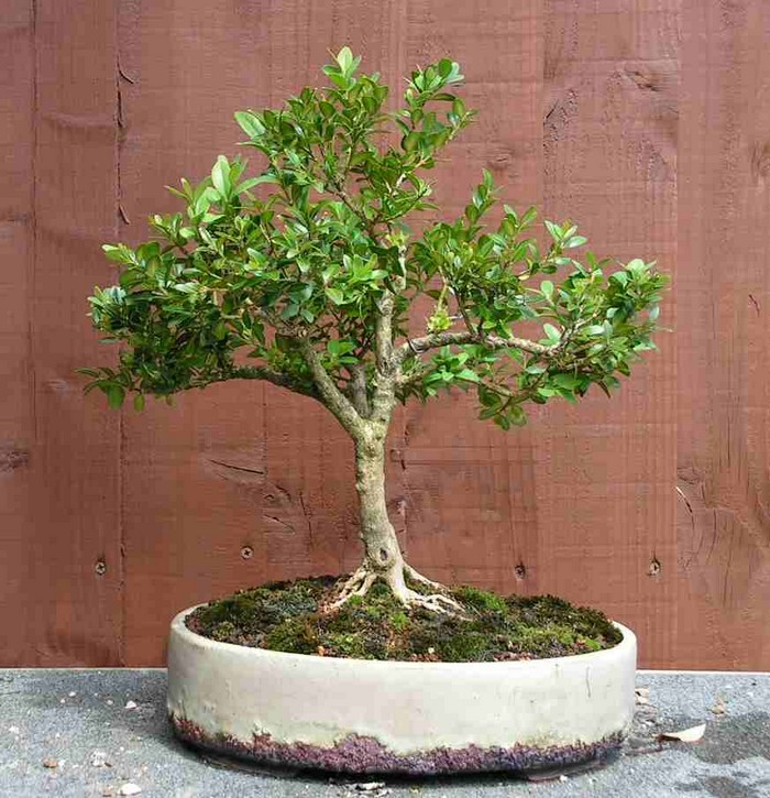 boxwood 5 years on Box_311