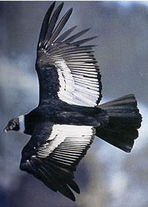 Faune patagonne Condor10