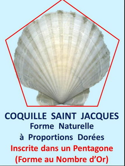 LA COQUILLE SAINT JACQUES - Ses vertus et son utilisation Saintj11