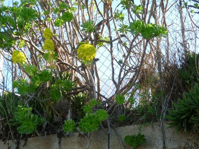 Aeonium arboreum 1-1-p110