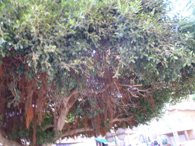Ficus retusa 1-p10103