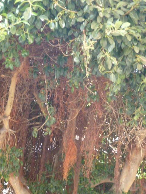 Ficus retusa 1-p10104