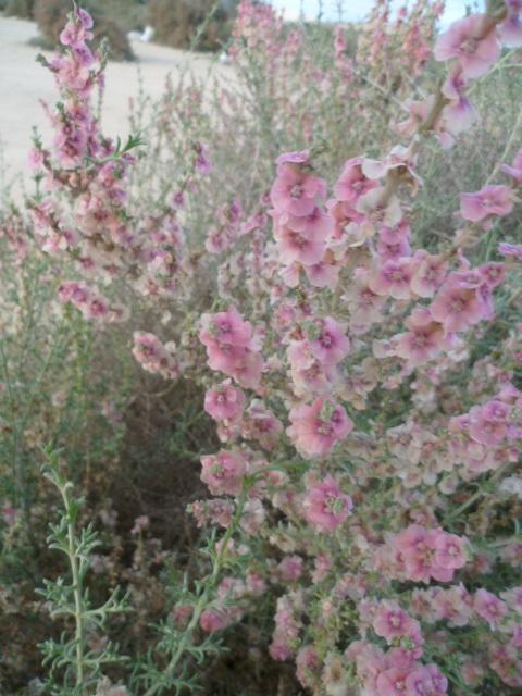 Arisarum vulgare et Salsola oppositifolia [Identifications] 1-p10109