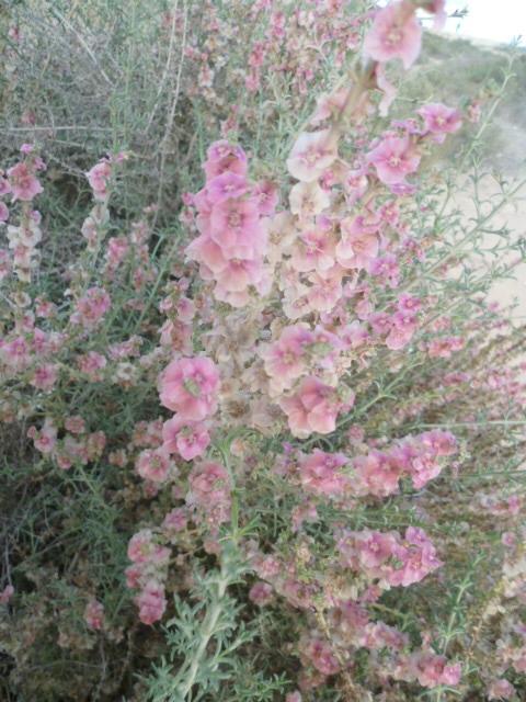 Arisarum vulgare et Salsola oppositifolia [Identifications] 1-p10110