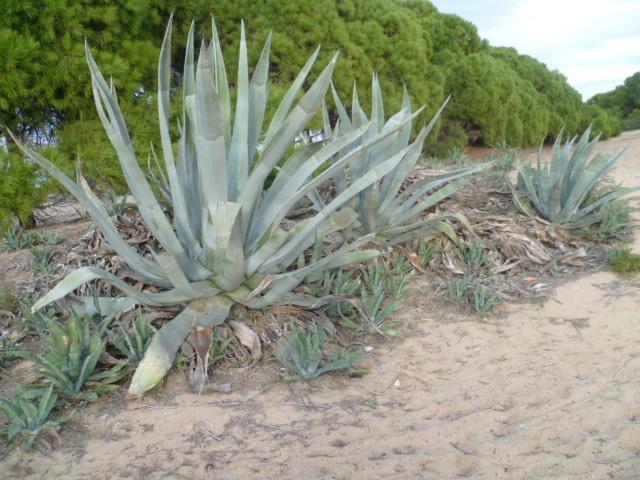 Espagne - flore de la région d'Alicante 1-p10114
