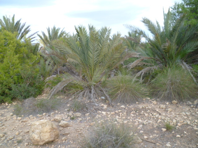 Espagne - flore de la région d'Alicante 1-p10116