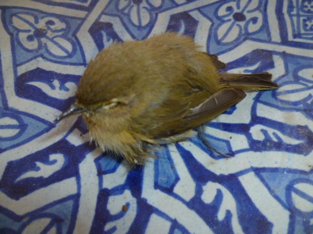 Oiseaux sauvés 1-p10139