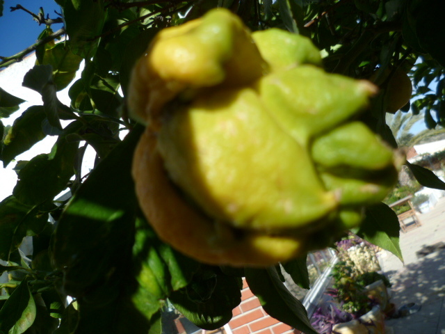 Citrons difformes 1-p10140