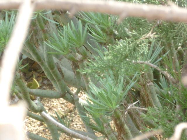 Kleinia neriifolia (= Senecio kleinia) 1-p10148