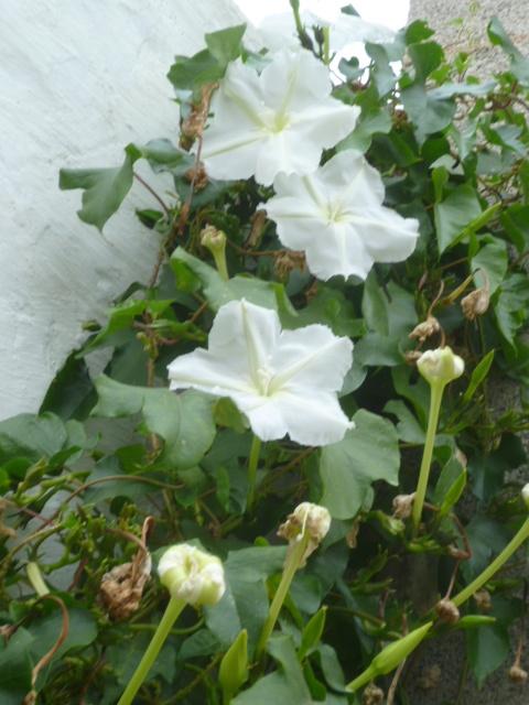 Ipomoea alba - fleur de lune - Page 2 1-p10149