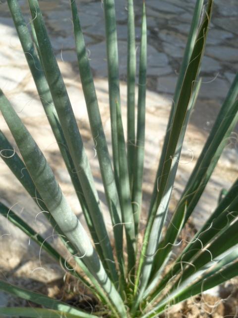 Yucca sp. (série Glaucae ) +++ [Id. non terminée] 1-p10167