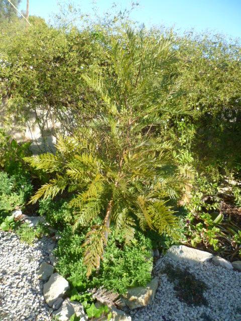 Grevillea robusta 1-p10183