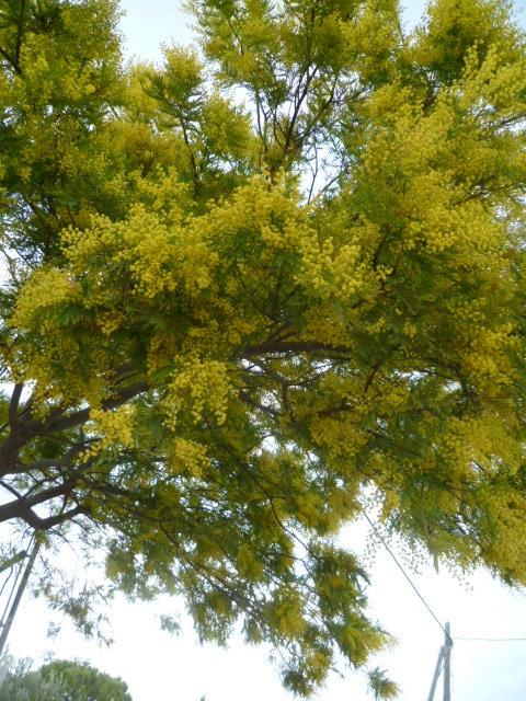 Acacia dealbata 1-p10191