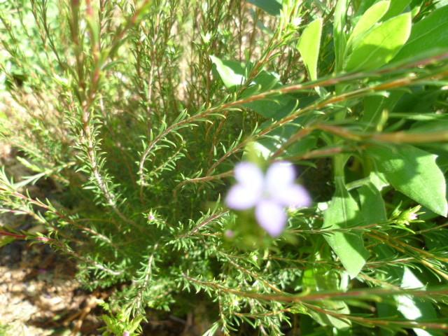 Coleonema pulchellum - buisson confetti 1-p10218