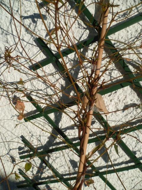 Hardenbergia violacea 1-p10219