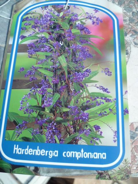 Hardenbergia violacea - Page 2 1-p10230