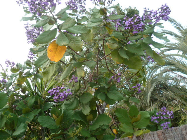 Wigandia urens + Euphorbia tirucalli [Identifications] 1-p10232