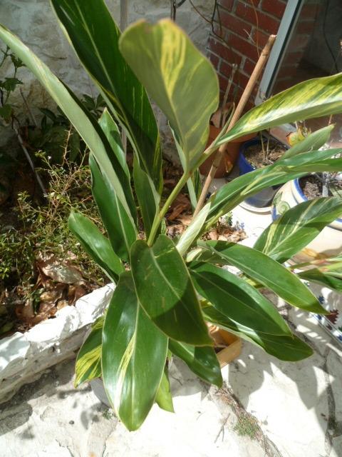 Alpinia zerumbet - Page 2 1-p10265
