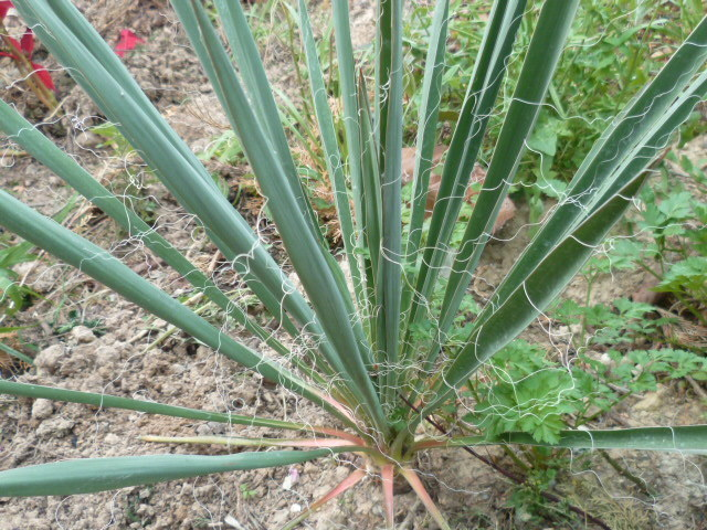 Yucca sp. (série Glaucae ) +++ [Id. non terminée] 1-p10276