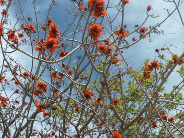 Erythrina caffra [Identification] - Page 2 1-p10289
