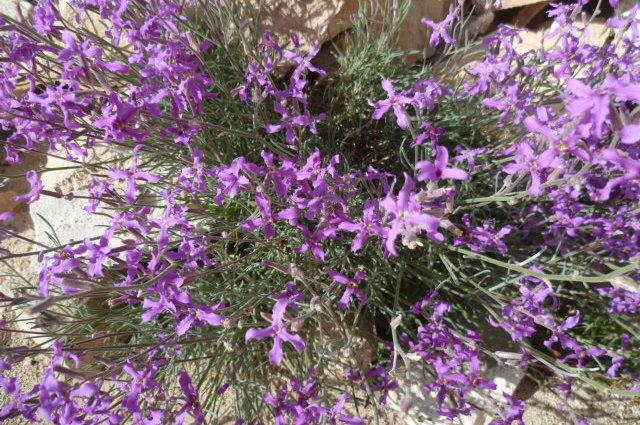 Espagne - flore de la région d'Alicante 1-p10300