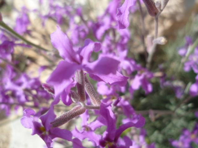Espagne - flore de la région d'Alicante 1-p10301