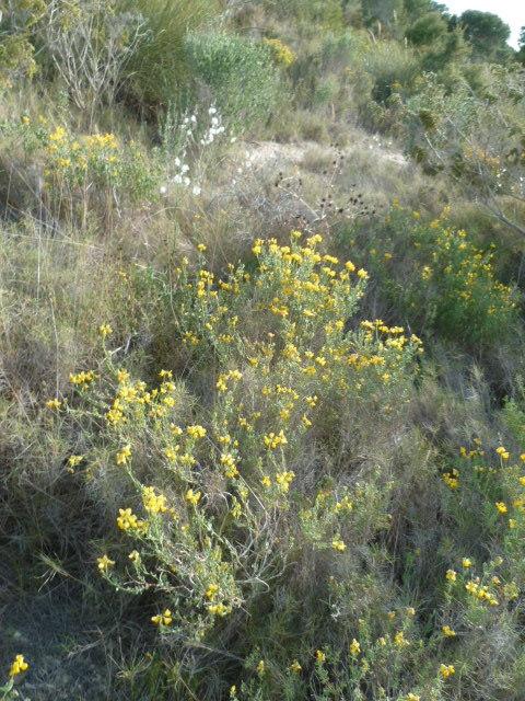 Espagne - flore de la région d'Alicante 1-p10302