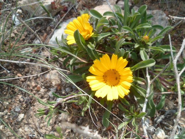 Espagne - flore de la région d'Alicante 1-p10306