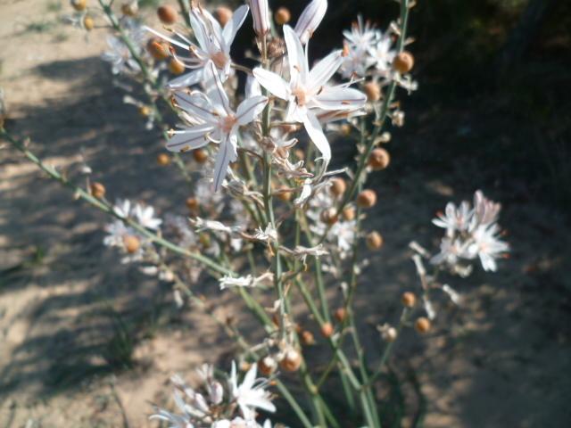 Espagne - flore de la région d'Alicante 1-p10307