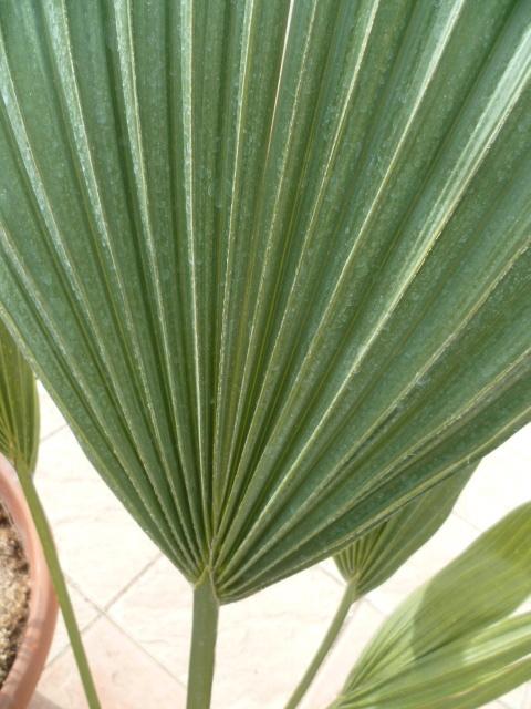 palmier sabal [identification à suivre] 1-p10309
