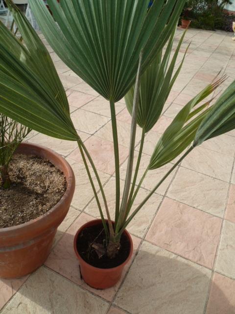 palmier sabal [identification à suivre] 1-p10310