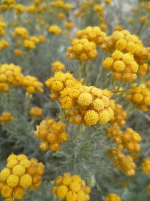 Espagne - flore de la région d'Alicante - Page 2 1-p10318