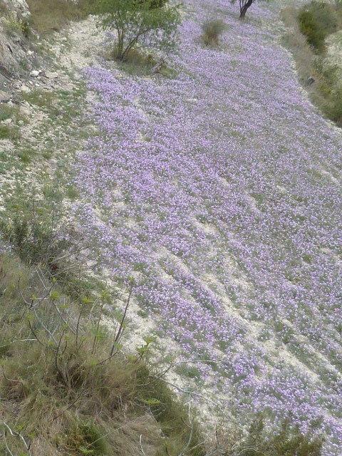 Espagne - flore de la région d'Alicante - Page 2 1-p10319