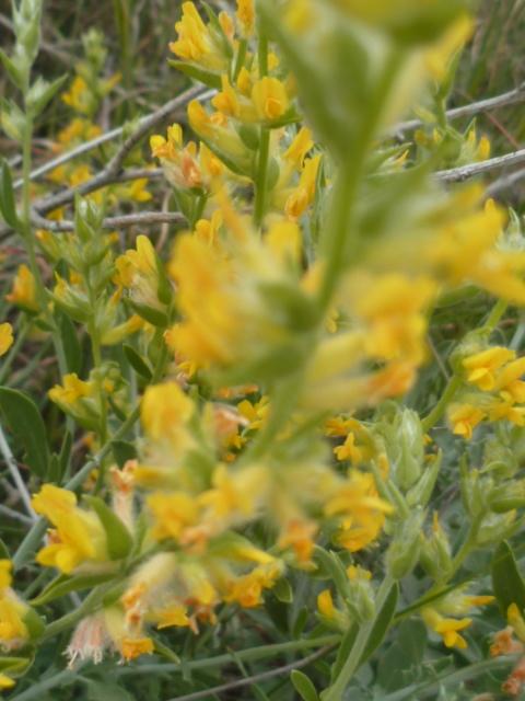 Espagne - flore de la région d'Alicante - Page 2 1-p10323