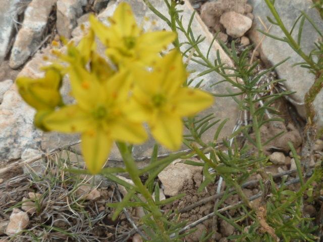 Espagne - flore de la région d'Alicante - Page 2 1-p10324