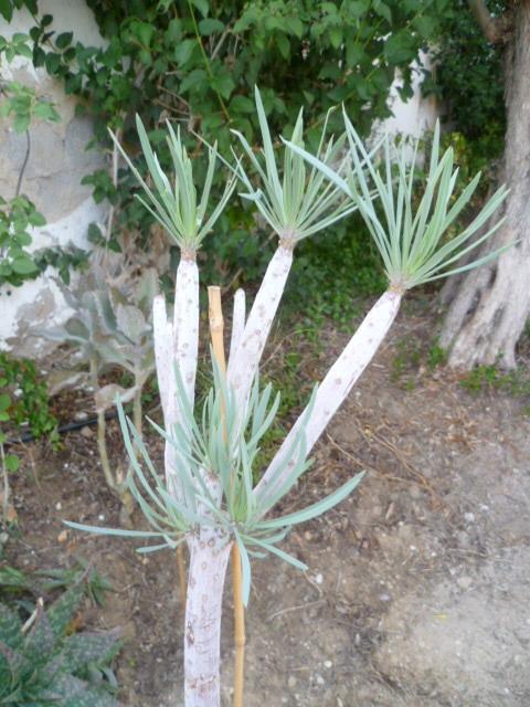 Kleinia neriifolia (= Senecio kleinia) 1-p10917