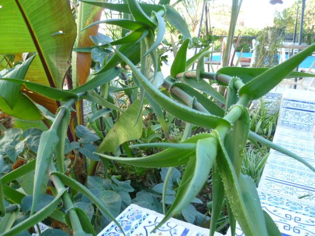 Aloe striatula - Page 2 1-p10918