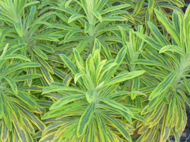 Euphorbia x martinii (amygdaloides x characias) - Page 2 1-p10922