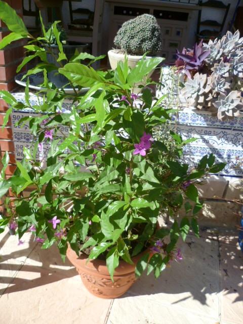 Pseuderanthemum laxiflorum 1-p10925
