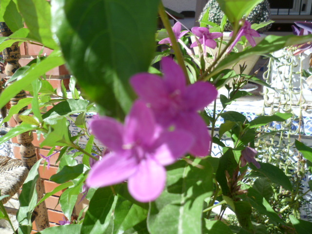 Pseuderanthemum laxiflorum 1-p10926