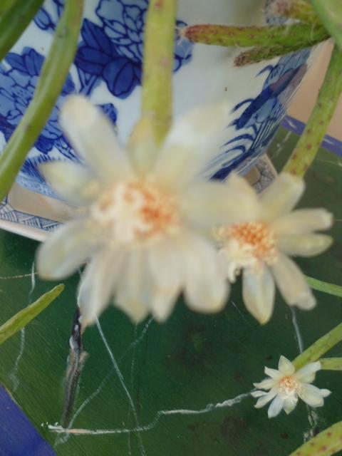 Rhipsalis sp. [Identification à suivre]= rhipsalis neves armondi 1-p10946