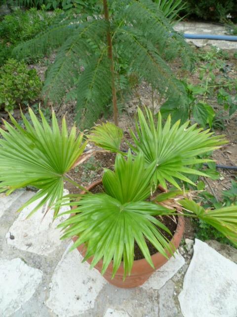 Saribus rotundifolius  (= Livistona rotundifolia) 1-p10948