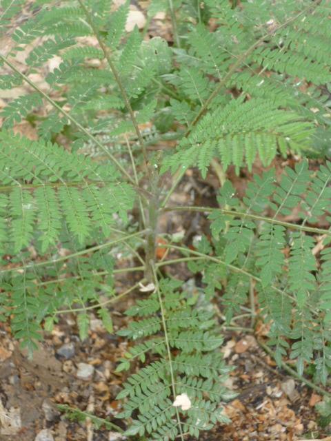Jacaranda mimosifolia  [Identification]  1-p10953