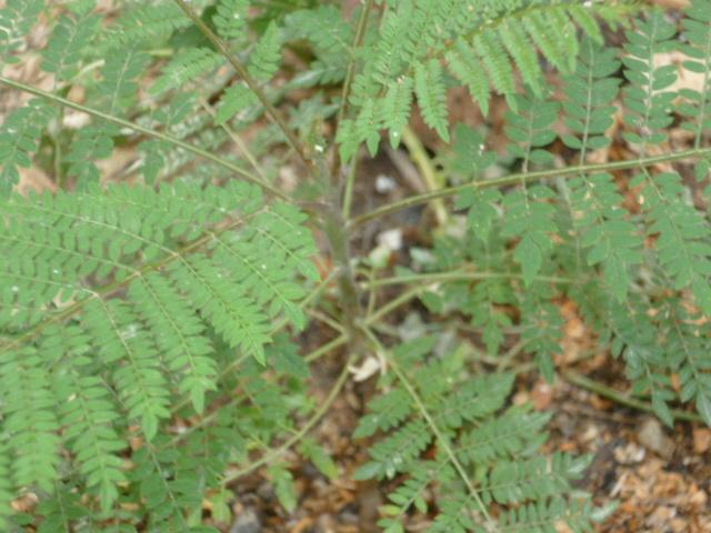 Jacaranda mimosifolia  [Identification]  1-p10954
