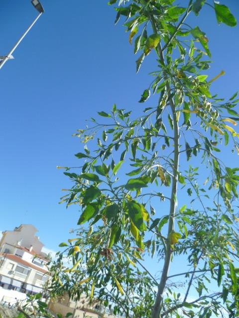 Nicotiana glauca 1-p10964