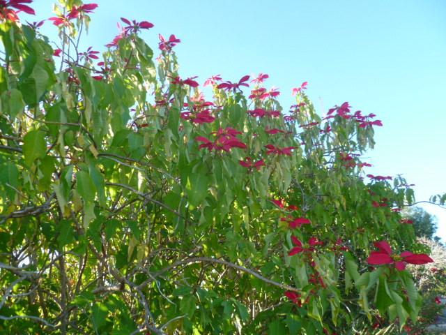Euphorbia pulcherrima (= Poinsettia pulcherrima) - étoile de noël 1-p10974