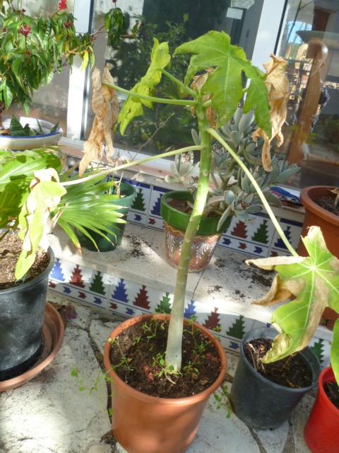 Carica papaya - papayer 1-p10988
