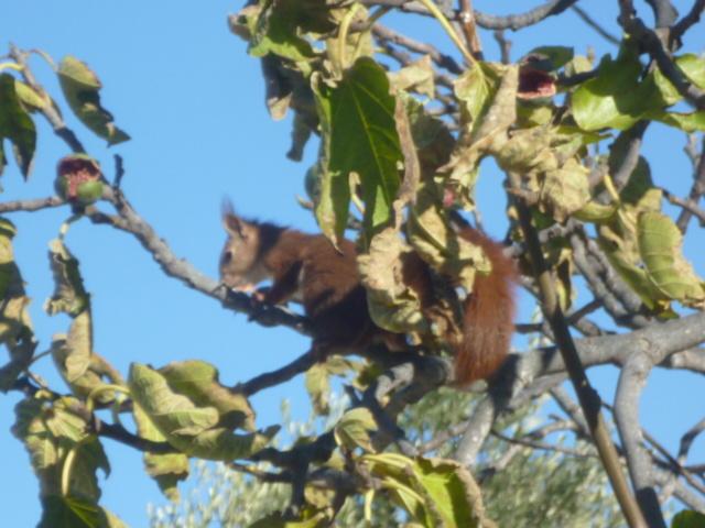 écureuil en visite journaliere 1-p10991