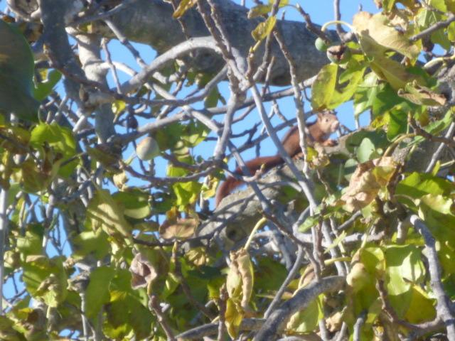 écureuil en visite journaliere 1-p10992